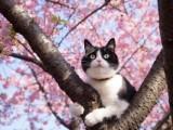 2018樱花和猫的图片唯美邂逅 樱花树上出现了一只猫
