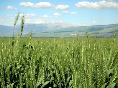 大片的稻田