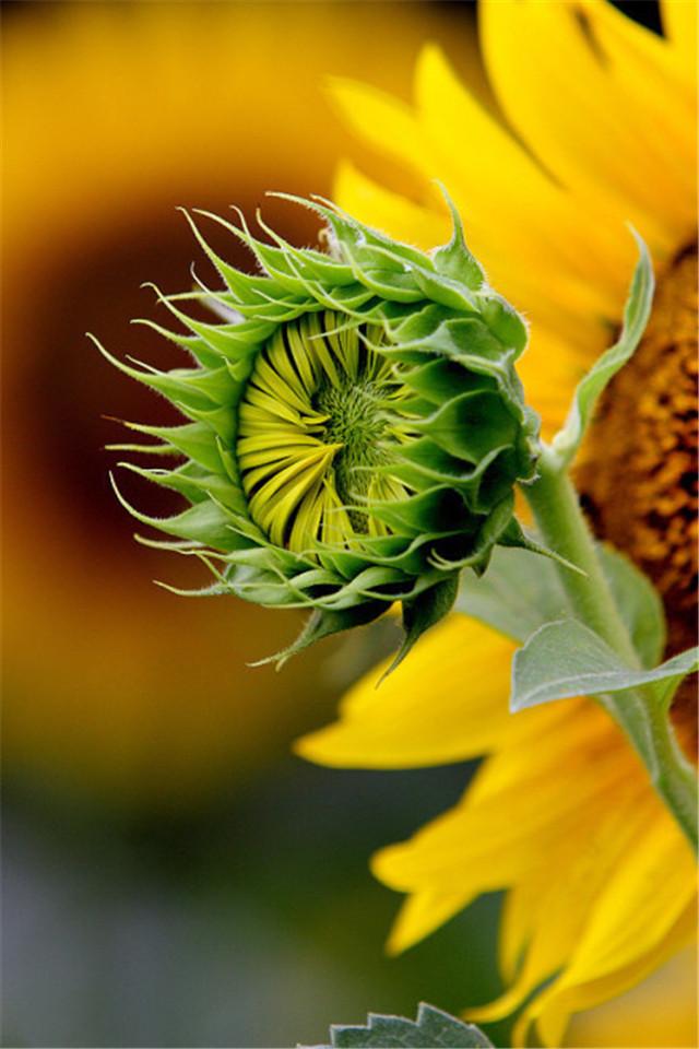 大自然励志花朵向日葵特写高清手机壁纸