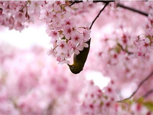 唯美漫天樱花图片,漫天繁花
