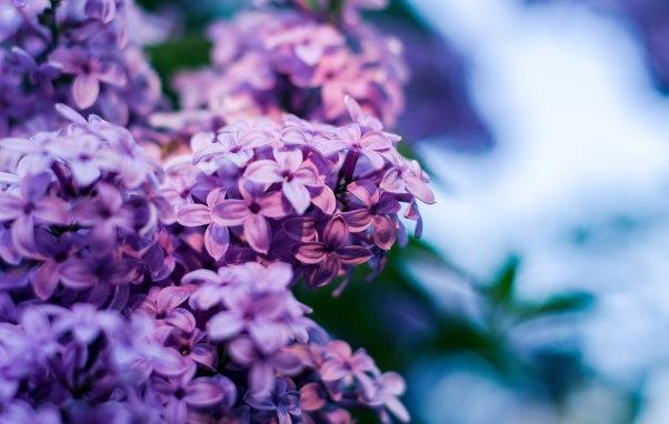 微距紫色丁香花图片,丁香五月