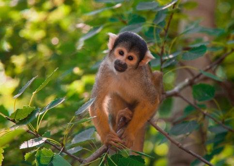 可爱动物,可爱卷尾猴图片