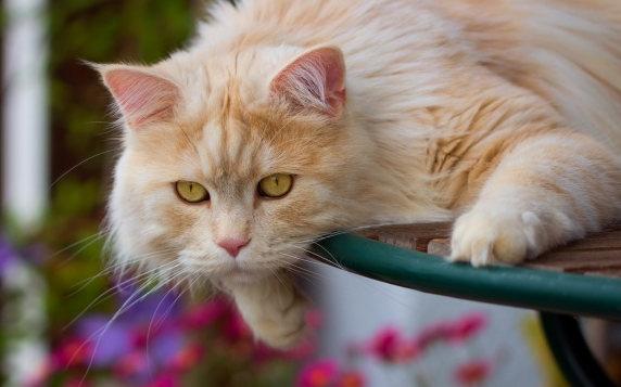 超萌可爱波斯猫图片