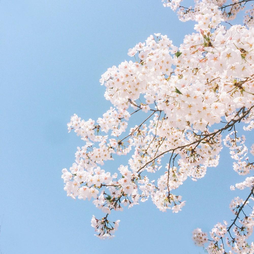 浪漫樱花 樱花盛开的图片 明年去哥德堡看樱花吧