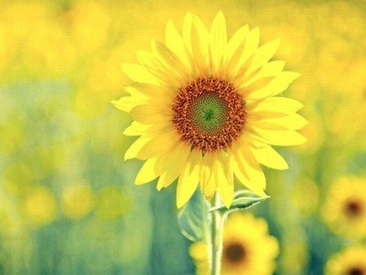 向日葵意境唯美图片_延续着你给我的勇气