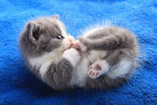 短腿猫意境图片 短腿猫图片大全