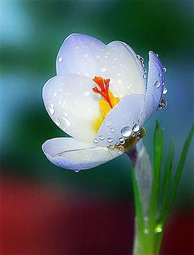 花瓣素材,晶莹水珠露珠素材