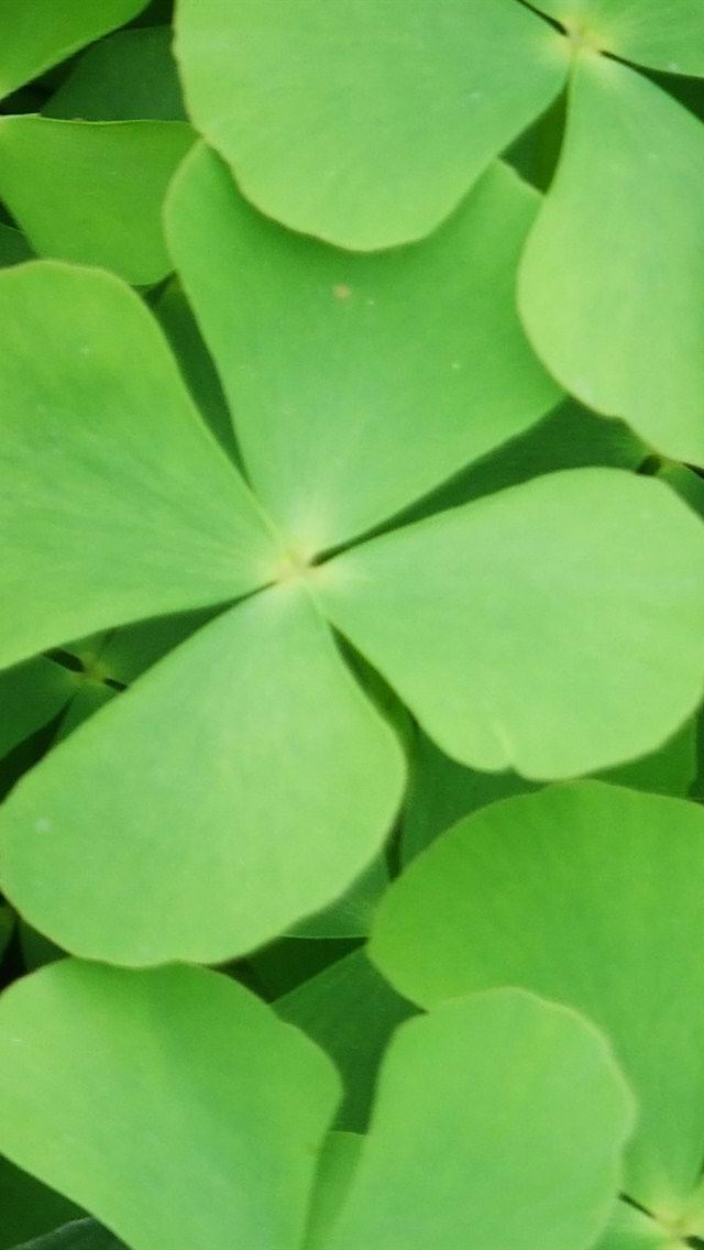 幸运四叶草壁纸 绿色护眼小清新幸运四叶草