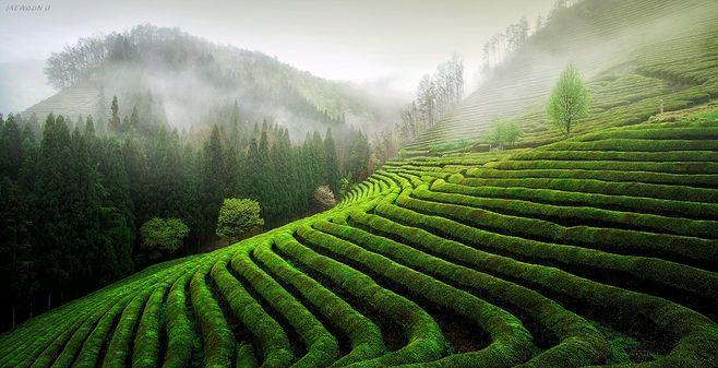 茶园茶叶素材图片大图